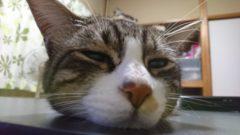 スタッフの猫